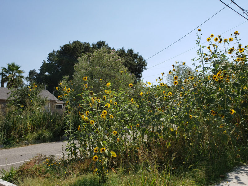 Sunflower Forests on 21st Street