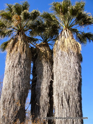 3 Washingtonia palms, at Ruth Bancroft Garden in Walnut Creek, CA