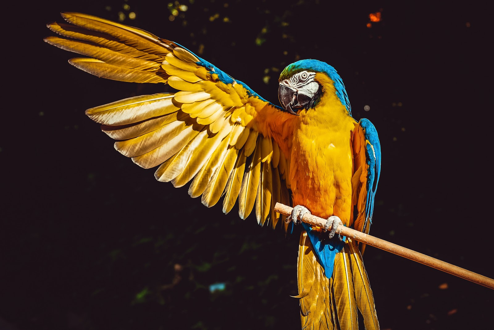 photo-of-yellow-and-blue-macaw-with-one-wing-open-perched-on-birds-pictures