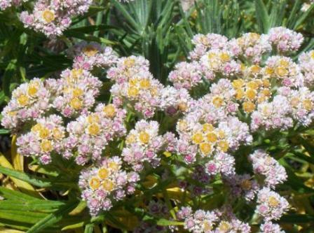 16 Khasiat Bunga Abadi Edelweis Untuk Kesehatan