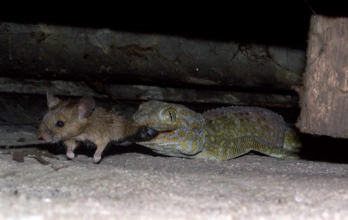 Kertenkele fare yer