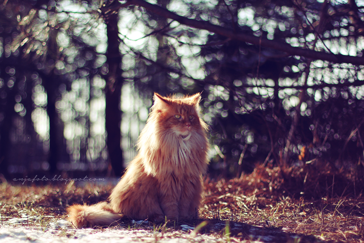 kot norweski leśny, norwegian forest cat, bokeh photography, national cat day, światowy dzień kota