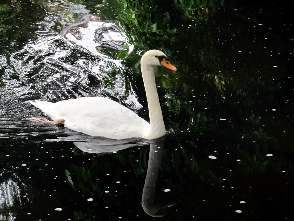 Swans in Rouen