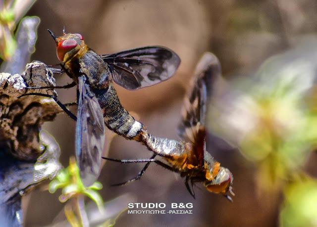 Η φωτογραφία της ημέρας: Οι μελισσόμυγες Bombyliidae