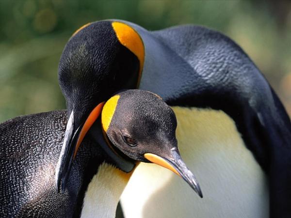 fotos tiernas pinguinos abrazados