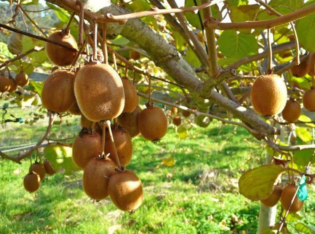 Benih Bibit Buah Kiwi Haira Seed Jawa Barat