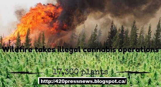 Wildfire takes illegal cannabis operations 17,300 plants