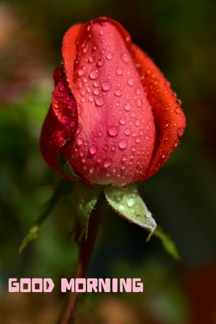 Good morning love red rose free download image