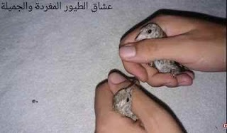 الفرق بين ذكر وأنثى فراخ الحسون
