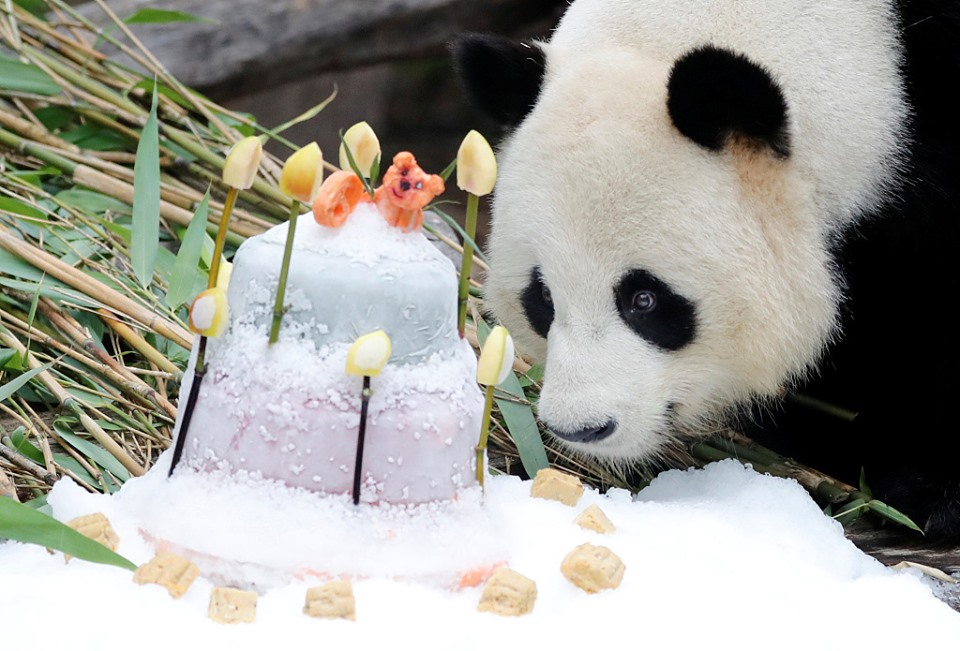 Panda in Berlin celebrates its 9th birthday with a special cake
