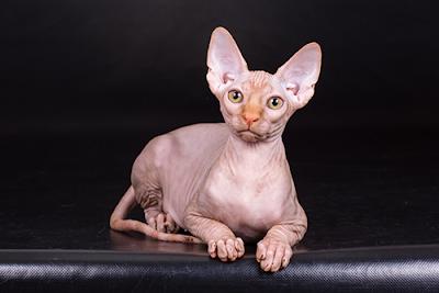 أشهر أنواع القطط و مميزاتها