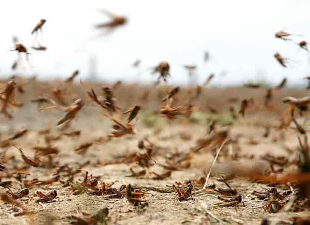 Swarms of Locusts invade in some regions of Saudi Arabia