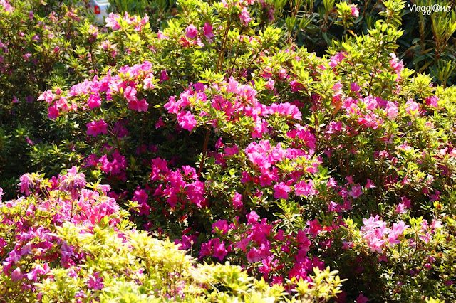 Siepi di Rododendri nel giardino di Villa Carlotta