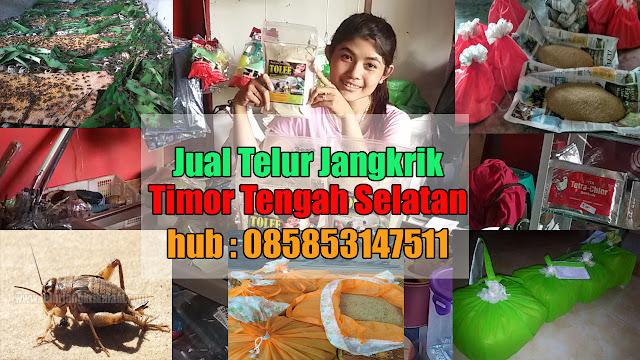 Jual Telur Jangkrik Timor Tengah Selatan Hubungi 085853147511