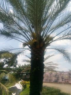 pohon-kurma-berbunga