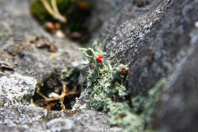 Lichen fruticuleux, Fontainebleau, Trois Pignons, (C) 2016 Greg Clouzeau