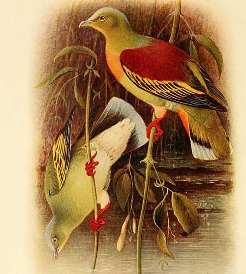Indian birds - Image of Ashy-headed green pigeon - Treron phayrei