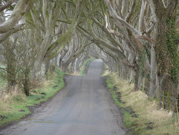 POHON  THE DARK HEDGES