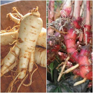 10 Benefits of Red Ginger and Honey Ginseng for Health Suitable For Men