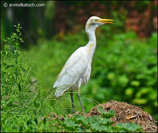 Beautiful, Cattle Egret