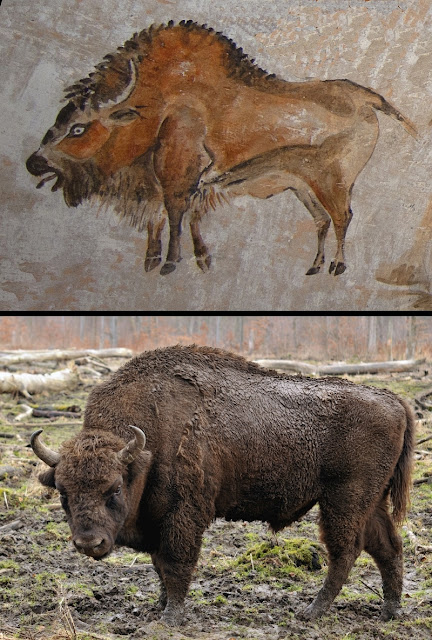 Comparison of cave painting of a bison at Altamira and photograph of a modern European bison.