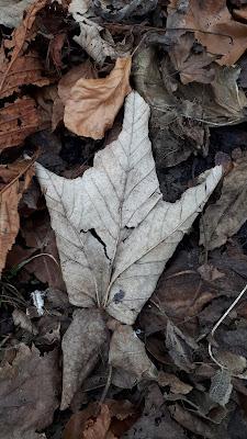 Goose foot fallen leaf