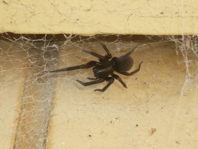 spiders in australia blog