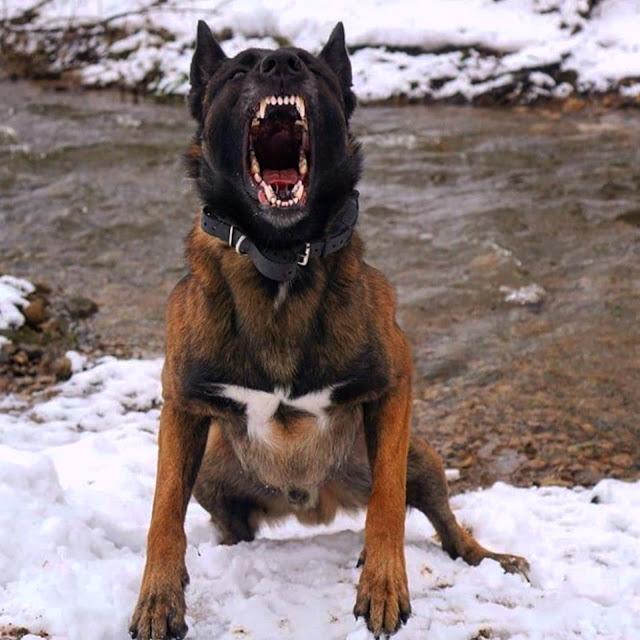 chien malinois