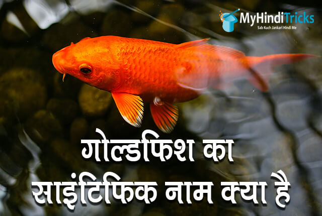 goldfish-ka-scientific-naam-kya-hai
