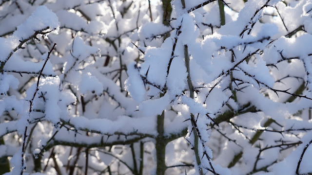 Close up of snow covered branches