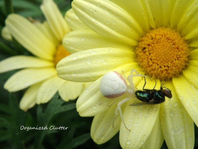 Spider and Fly on Marguerite Daisy