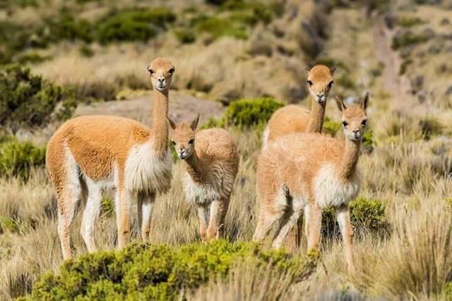 Hewan liar vicuña