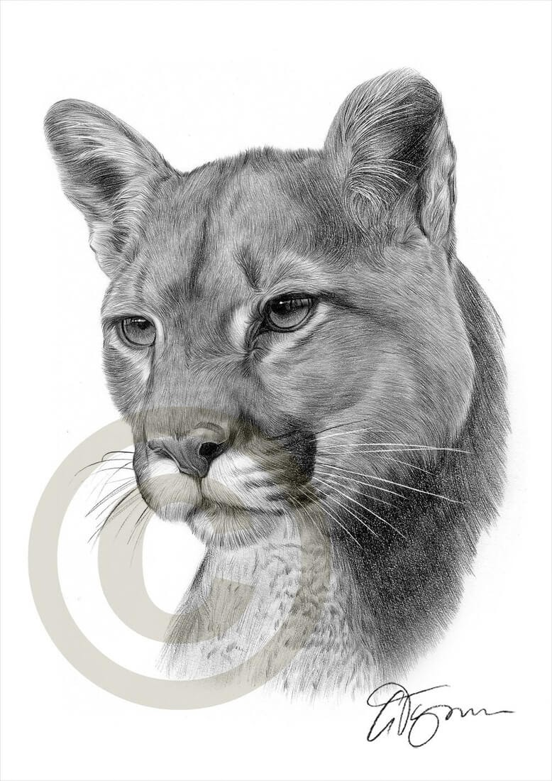08-American-Cougar-Puma-Gary-Tymon-Wildlife-and-Domestic-Animal-Pencil-Drawings-www-designstack-co