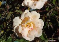 Crepuscule, heirloom climbing rose - Christchurch Botanic Gardens, New Zealand
