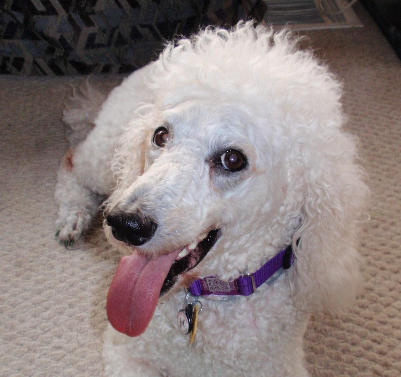 PetHub collar on Carma Poodale- standard Poodle