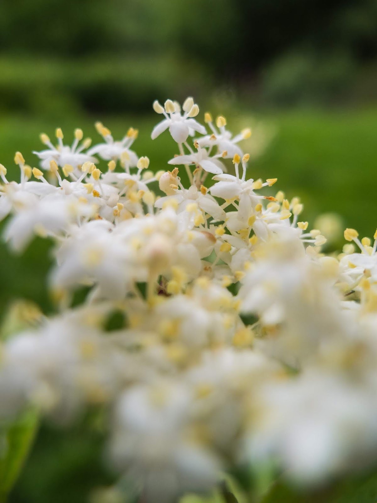 A macro of tiny delicate Elderflowers.