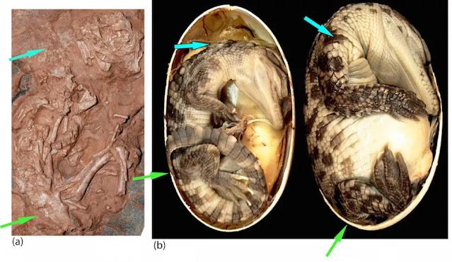 Questa immagine mostra un confronto di B. sinensis con un embrione di coccodrillo siamese. Le frecce acquatiche e verdi mostrano l'orientamento del collo e dell'anca, rispettivamente.  L'embrione di B. sinensis sembra più simile a un embrione di coccodrillo di 51 giorni (a destra) che a un embrione di 78 giorni (a destra), che è vicino alla schiusa. Questo confronto suggerisce che l'embrione di B. sinensis è morto prima di completare i tre quarti del suo sviluppo nell'uovo.