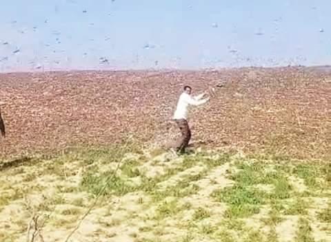 बाड़मेर जालौर की सीमा पर टिड्डी का बड़ा पड़ाव सदमे में किसान।