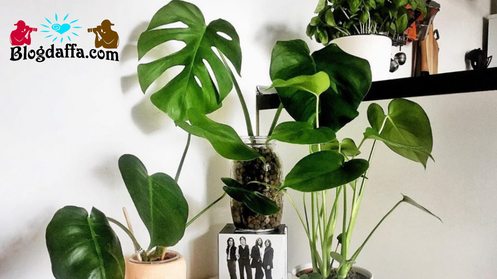 Monstera Borsigiana