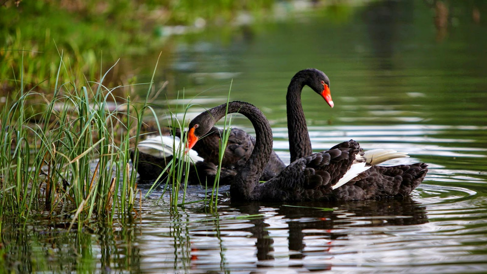 Black swans hd wallpaper hd wallpapers high quality - Animal and bird hd wallpaper ...