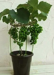 Tips Terbaik Menanam Dan Budidaya Anggur Di Dalam Pot