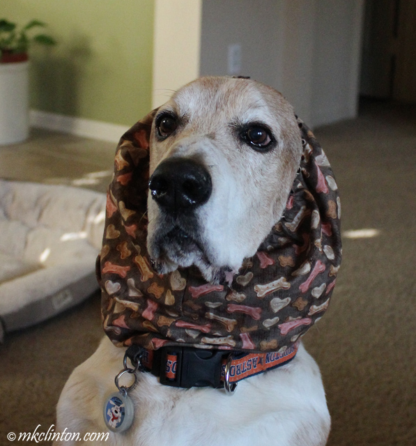 Basset wearing bones and hearts snood