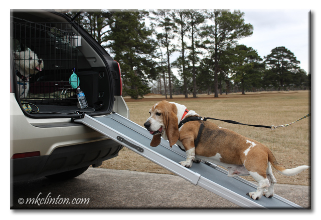 Basset Hound walking on Solvit Telescoping Pet Ramp