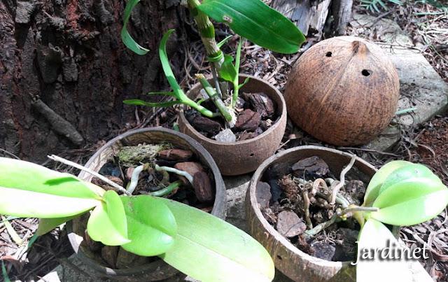 Orquídeas na casca do coco