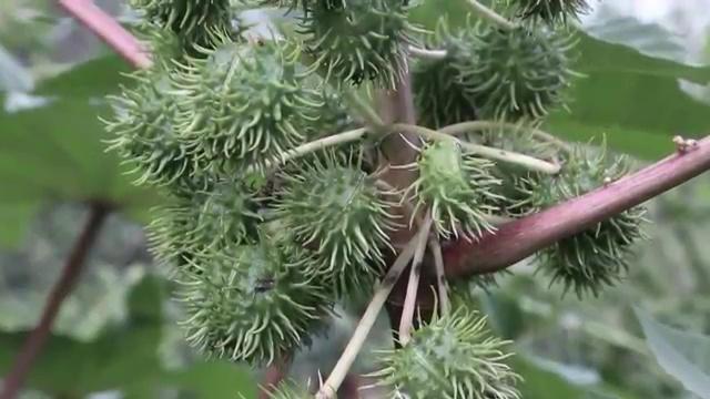 Most Poisonous Plants, Castor Bean