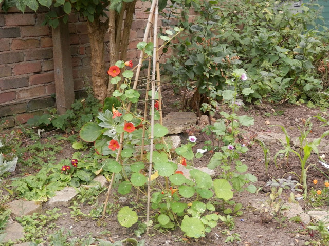 Diary of a suburban food garden, August 2016. secondhandsusie.blogspot.com #garden #suburbangarden #polyculture #vegetablegarden #fruitgarden
