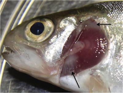 Jenis - Jenis Penyakit Bakterial Pada Ikan