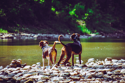 Two dogs are standing next to each other on a rocky shore of a river