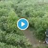 Lagi Viral... Video Mesum Remaja di Kebun Teh Kemuning