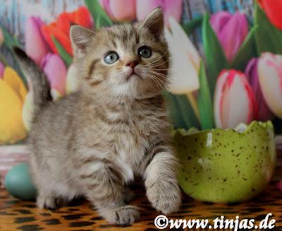 tinjas Katzenzucht Katzenbabys abzugeben